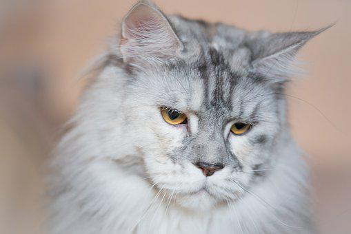 Cat, White, Silver, Animal, Pussy, Portrait, Eyes, Head