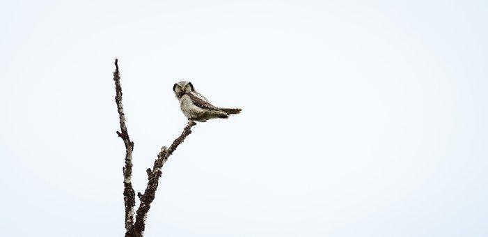 Owl, Hawk, Northern, Nature, Wildlife, Wild, Bird