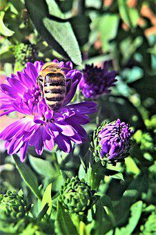 Asters, Herbstastern, Bee, Insect, Animal, Flowers