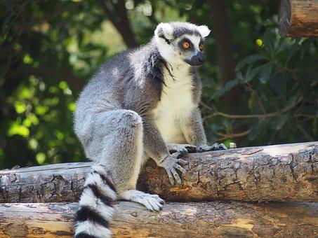 Lemur, Primate, Mammal, Zoo, Animal, Monkey, Cute