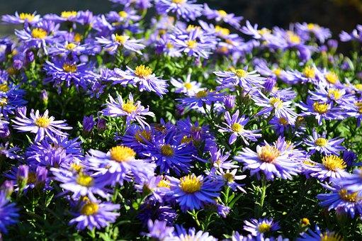 Asters, Flowers, Herbstastern, Autumn Mood, Plant