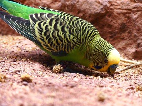 Budgie, Parakeet, Green, Yellow, Millet, Bird, Food