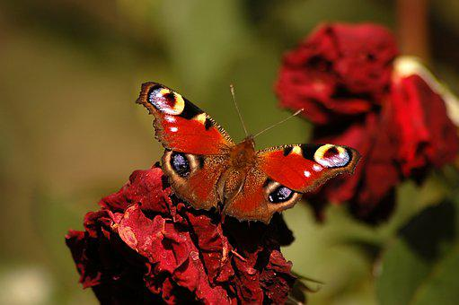 Butterfly, Peacock, Insect, Beauty, Garden, Summer