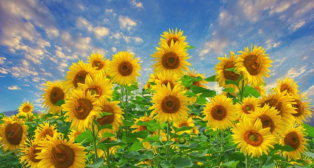 Sunflower, Sunshine, Blue Sky, Clouds, Weather, Field