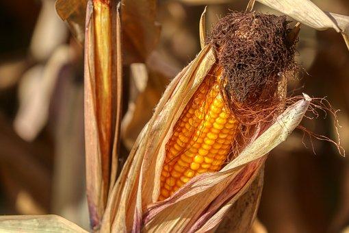 Corn On The Cob, Corn, Harvest, Yellow, Autumn