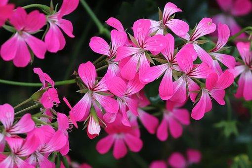 Geranium, Flowers, Pink, Decorative, Plant, Pink Flower