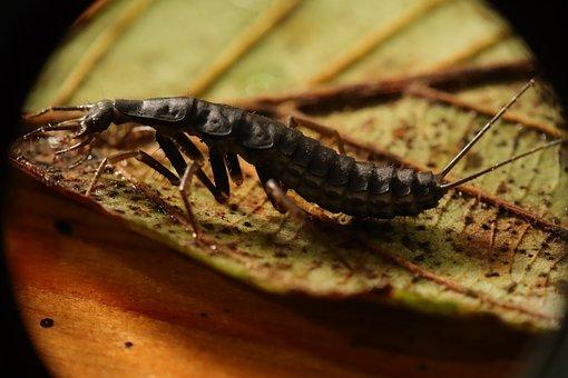 Insect, Dermáptera, Nature, Cortatijeras, Cortapicos