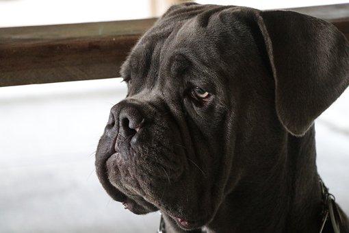 Stoic, Dog, Pet, Proud, Portrait, Attitude, Creature