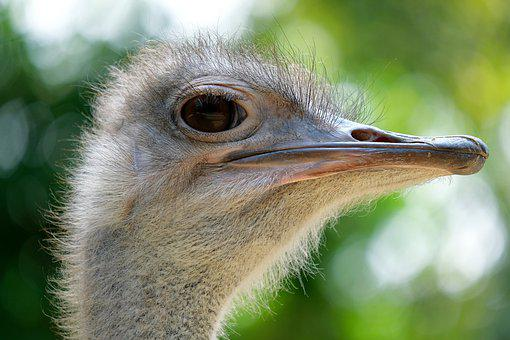 Bouquet, Rhea Bird, Emu, Animal, Head, Eye, Bird