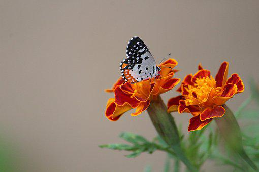Butterfly, Nectar, Flower, Bloom, Feeding, Flora