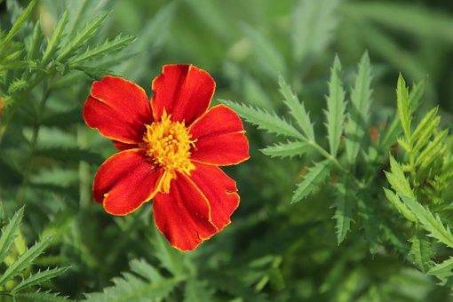 œillet Of India, Flowers, Plants, Red-orange, Colorful