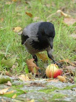 Hooded Crow, Apple, Food, Nature, Fruit, Autumn, Bird