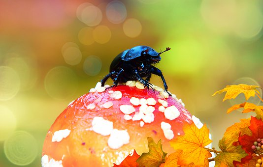 Forest Beetle, Insect, Fly Agaric Red, Mushroom, Autumn