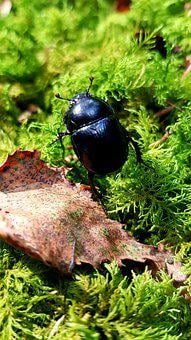 Forest Dung Beetle, Anoplotrupes Stercorosus, Beetle