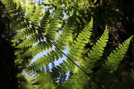 Fern, Green, Plant, Forest, Fern Leaf, Leaf Fern, Leaf