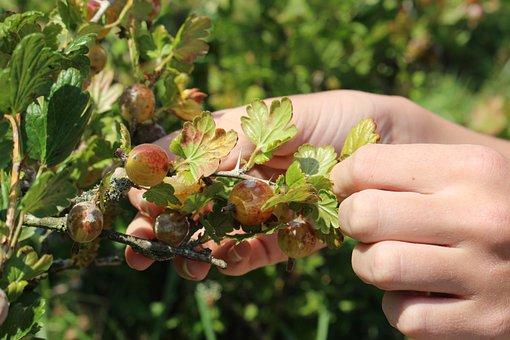 Gooseberries, Fruit, Healthy, Pick, Fresh, Garden, Ripe