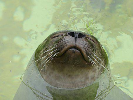 Leopard Seal, Robbe, Beard Hair, Gourmet, Head