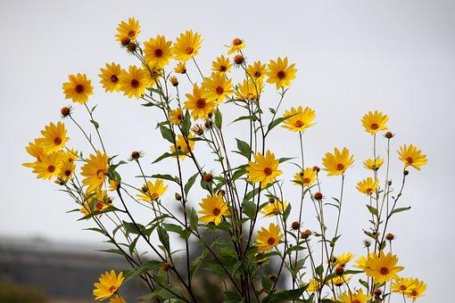 Hélianthus, Suns, Flowers, Plants, Garden, Gardening