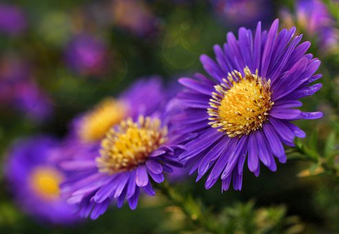 Herbstaster, Asters, Blossom, Bloom, Flowers, Pick