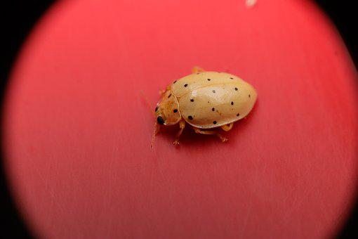 Insects, Garden, Ladybug, Coccinélidos, Coleoptera