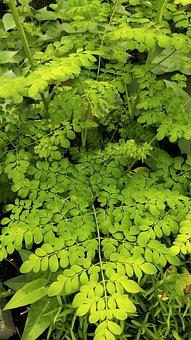 Moringa Oleifera, Moringa, Drumstick Plant