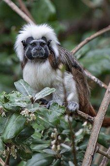 Pinché, Primate, Emperor Tamarin, Monkey, Moustache