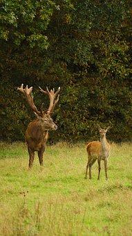 Hirsch, Wild, Nature, Animal World, Animal, Forest