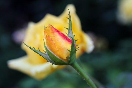 Rose, Garden, Flowers, Plants, Nature, Beauty