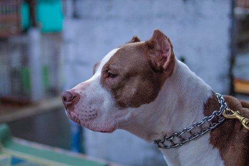 Old Pitbull Cafe, String, Dog, Animals, Animal, Outside
