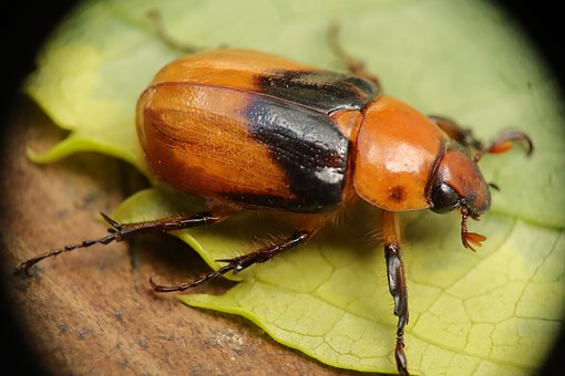 Insect, Beetle, Nature, Phyllophaga, Garden, Ronrones