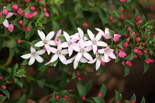 Flowers, White, Pink, Buds, Leaves, Spring Garden