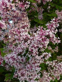Lilac, Flowers, Bloom, Spring, Nature, Bush, Plant