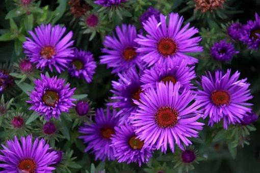 Asters, Flowers, Plants, Violet Colour, Garden
