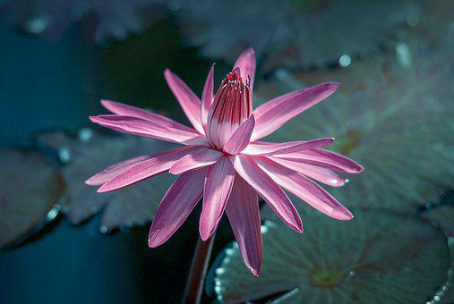 Water Lily, Flower, Pond, Nature, Aquatic Plant, Pink