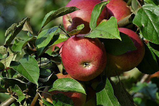 Fruit, Apple, Ripe, Red, Kernobstgewaechs, Autumn, Food
