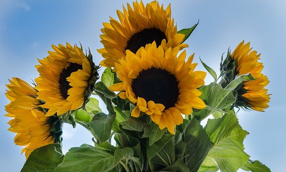 Sunflowers, Season, Autumn, Sunflower, Flowers, Flower