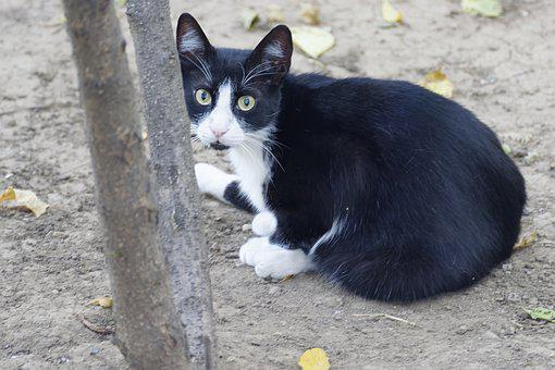 Cat, Tomcat, Fur, Black, White, Feline, Cute, Pet