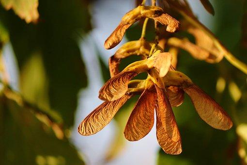 Flying Seeds, Maple, Tree, Deciduous Tree, Autumn
