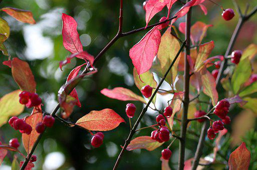Berries, Autumn, Leaves, Nature, Tree, Fall, Colorful