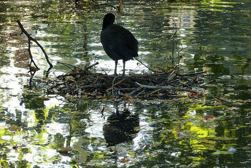 Coot, Pond, Bird, Water, Black, Animal, Mirror Image