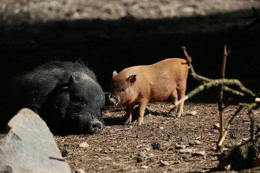 Sow, Pig, Wild Boars, Mammal, Boar, Cute, Animal