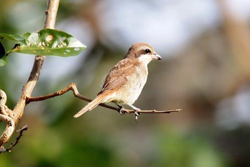 Juvenile Brown Shrike, Wild, Bird, Wildlife, Seasonal