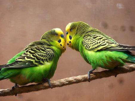 Budgie, Parakeet, Green, Yellow, Bird, Food, Cute