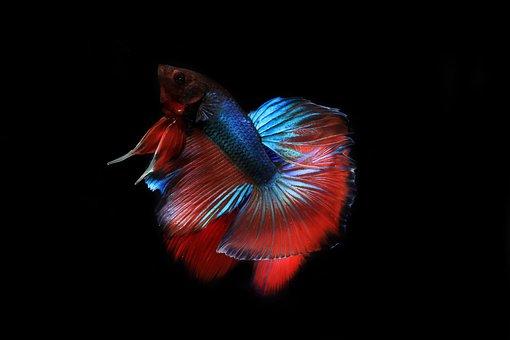 Nature, Siamese, Aquarium, Color, Animal, Tail, Betta