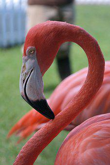 Flamingo, Portrait, Pink, Bird, Bill, Head, Animal