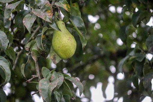 Pear, Fruit, Vitamins, Bio, Eat, Nutrition, Ripe, Vegan