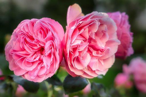 Rose, Blossom, Bloom, Flower, Romantic, Nature