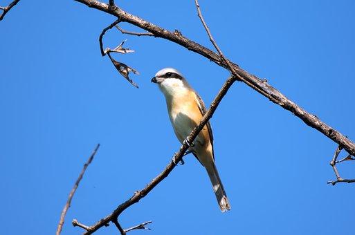 Brown Shrike Adult, Wild, Bird, Perch, Tree, Branch
