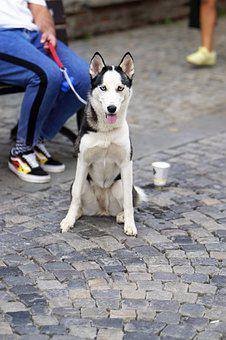 Dog, Husky, Mammalian, Cute, Pet, Canine, Placed