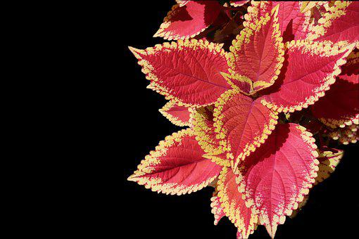 Coleus, Annual Plants, Foliage, Colorful, Yellow, Red